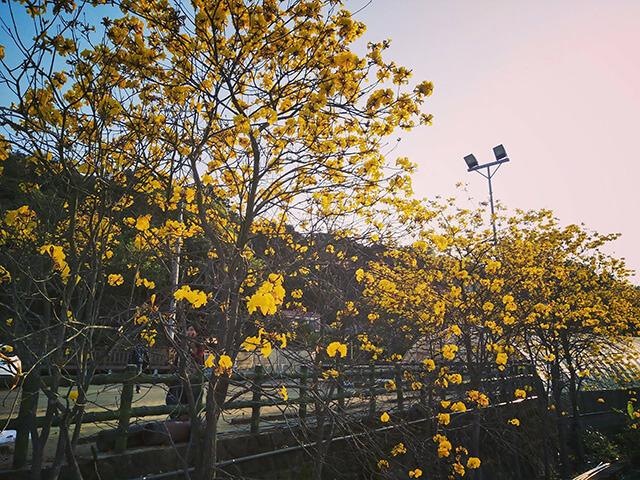 風鈴木景點新竹巨埔休閒生態農場