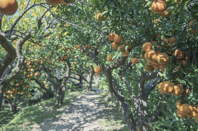 韓國濟州島橘子園 – 苗栗橙香森林