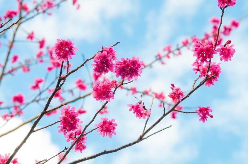 八仙山山櫻花