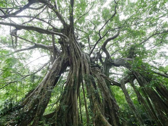知本森林遊樂區步道老樹