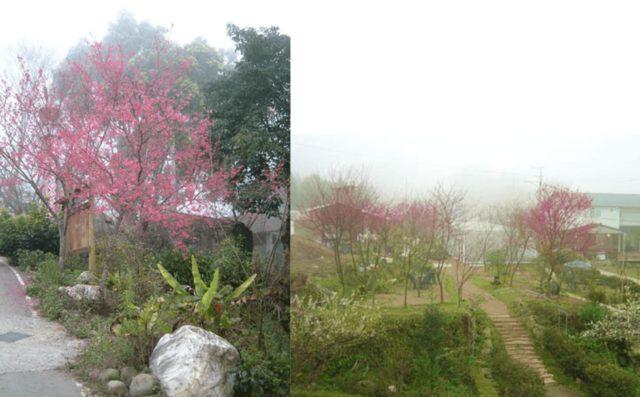 南庄櫻花季