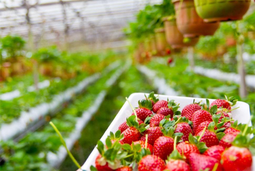 桃園旅遊|桃園採果農場推薦:百香果、火龍果、葡萄、草莓採果好去處